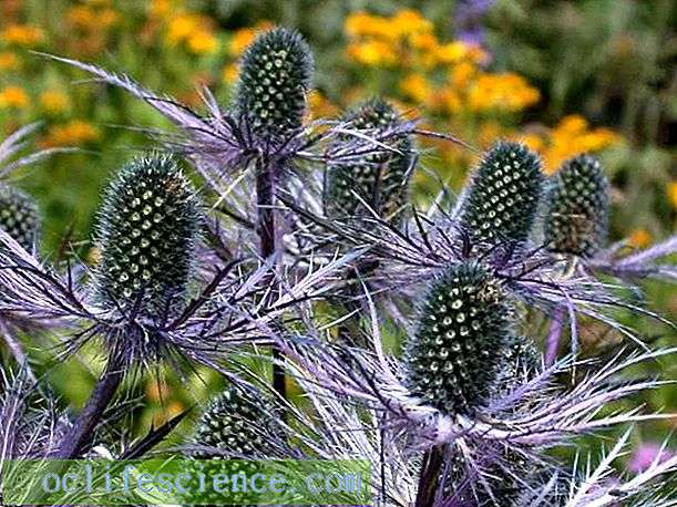 Blue thistle of the Alps